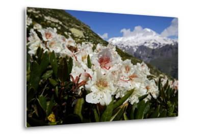 Caucasian Rhododendron Lowers with Mount Elbrus in the Distance, Caucasus, Russia, June