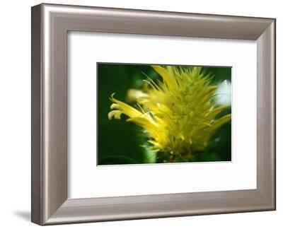 Schaueria flavicoma (Golden Plume)-Angela Marsh-Framed Photographic Print