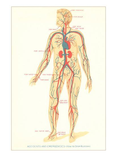 Schematic of Circulatory System--Art Print