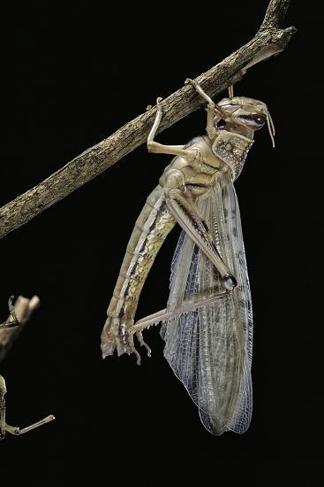 Schistocerca Gregaria (Desert Locust) - Emerging-Paul Starosta-Photographic Print