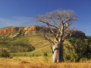 Boab Tree and Cockburn Ranges, Kimberley, Western Australia, Australia, Pacific by Schlenker Jochen