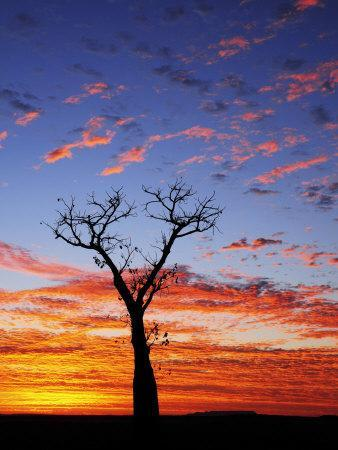 Boab Tree at Sunrise, Kimberley, Western Australia, Australia, Pacific