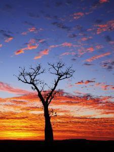 Boab Tree at Sunrise, Kimberley, Western Australia, Australia, Pacific by Schlenker Jochen