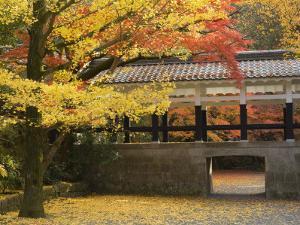 Ginkgo Tree, Garden of Nanzenji Temple, Kyoto, Kansai, Honshu, Japan by Schlenker Jochen