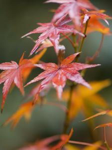 Maple Leaves, Kyoto, Kansai, Honshu, Japan by Schlenker Jochen