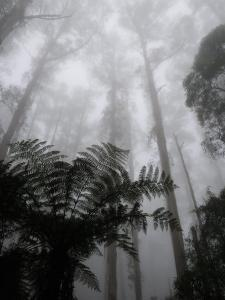 Mountain Ash Trees and Tree Ferns in Fog, Dandenong Ranges, Victoria, Australia by Schlenker Jochen