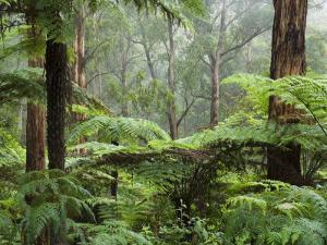 Rainforest, Bunyip State Park, Victoria, Australia, Pacific by Schlenker Jochen