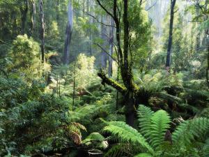Rainforest, Dandenong Ranges, Victoria, Australia, Pacific by Schlenker Jochen