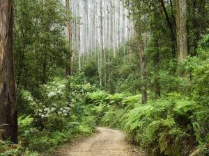 Road Through Rainforest, Yarra Ranges National Park, Victoria, Australia, Pacific by Schlenker Jochen