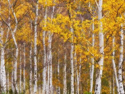 Silver Birches, Dandenong Ranges, Victoria, Australia, Pacific