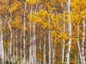 Silver Birches, Dandenong Ranges, Victoria, Australia, Pacific by Schlenker Jochen