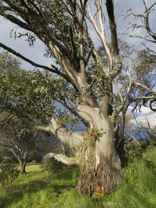 Snow Gum, Kosciuszko National Park, New South Wales, Australia, Pacific by Schlenker Jochen