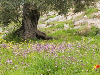 Wildflowers and Olive Tree, Near Halawa, Jordan, Middle East