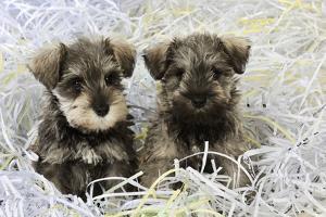 Schnauzer Puppies Sitting in Paper Shreddings