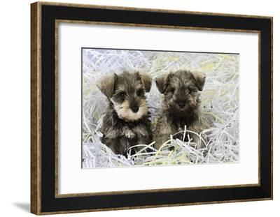 Schnauzer Puppies Sitting in Paper Shreddings--Framed Photographic Print