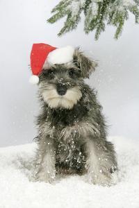 Schnauzer Puppy in Snow Wearing Hat