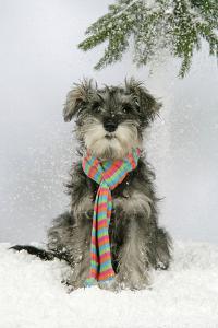 Schnauzer Puppy in Snow Wearing Scarf