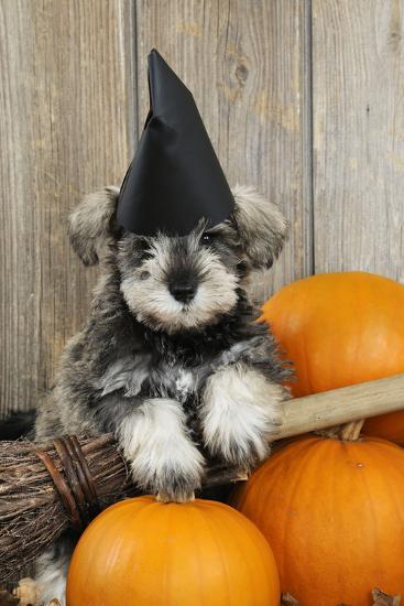 Schnauzer Puppy Looking over Broom Wearing Witches Hat--Photographic Print