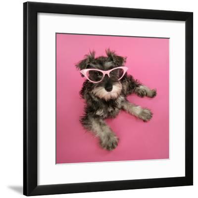 Schnauzer Puppy Wearing Pink Glasses