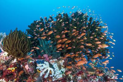 School of Anthias Fish Swimming over a Colorful Reef-Stocktrek Images-Photographic Print