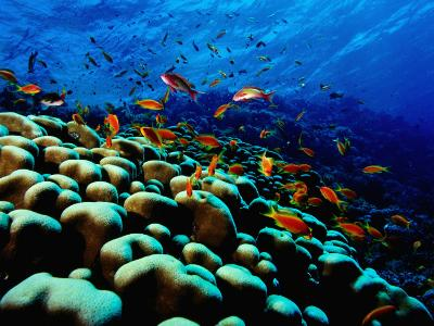 School of Anthias over Brain Coral - Red Sea, Ras Mohammed National Par-Mark Webster-Photographic Print