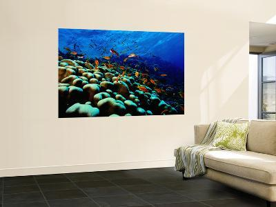 School of Anthias over Brain Coral - Red Sea, Ras Mohammed National Par-Mark Webster-Wall Mural