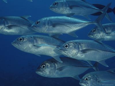 School of Bigeye Trevally Fish-Bill Curtsinger-Photographic Print