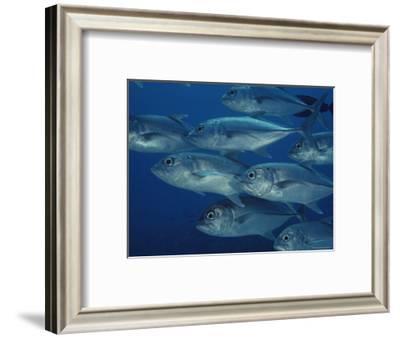 School of Bigeye Trevally Fish-Bill Curtsinger-Framed Photographic Print