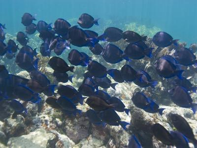 School of Blue Tangs Swimming over the Coral Reefs Off Key Largo-Mike Theiss-Photographic Print