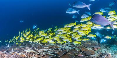 School of Bluestripe Snappers (Lutjanus Kasmira) Swimming About--Photographic Print