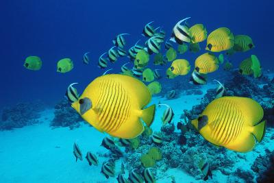 School of Butterfly Fish Swimming on the Seabed-Georgette Douwma-Photographic Print