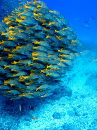 https://imgc.artprintimages.com/img/print/school-of-colourful-fish-in-blue-waters-off-isla-de-cano_u-l-pd4rln0.jpg?p=0