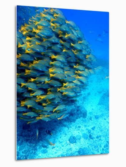 School of Colourful Fish in Blue Waters Off Isla De Cano-Johnny Haglund-Metal Print