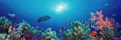 School of Fish Swimming Near a Reef, Indo-Pacific Ocean--Photographic Print
