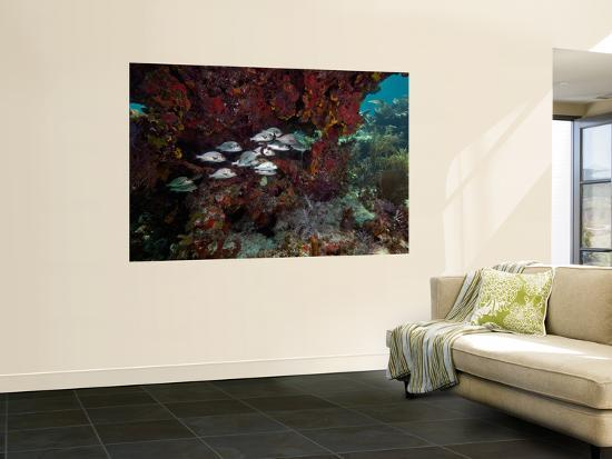 School of Gray Snapper Amongst a Colorful Reef-Stocktrek Images-Wall Mural