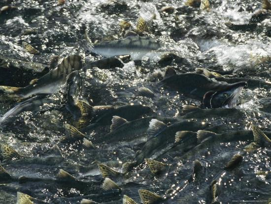 School of Pink Salmon Migrating To Spawning Grounds in Alaska-Michael S^ Quinton-Photographic Print