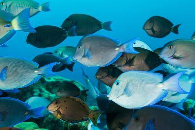 School of Purple and Blue Tangs Swim Off of Bonaire-James White-Photographic Print