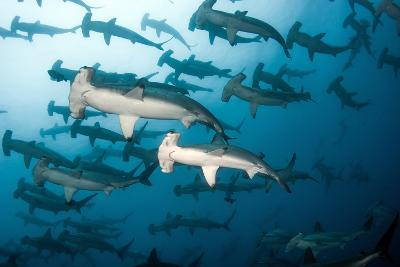School of Scalloped Hammerheads-Tomas Kotouc-Photographic Print
