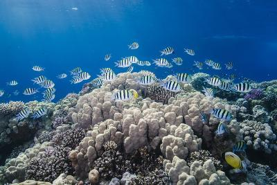 School of Sergeant Major Fish over Pristine Coral Reef, Jackson Reef, Off Sharm El Sheikh, Egypt-Mark Doherty-Photographic Print