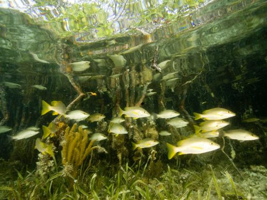 School of Snappers Shelters Among Mangrove Roots, Belize-Tim Laman-Photographic Print