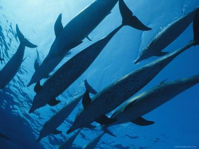 School of Spotted Dolphins, Bahama Islands-Nick Caloyianis-Photographic Print
