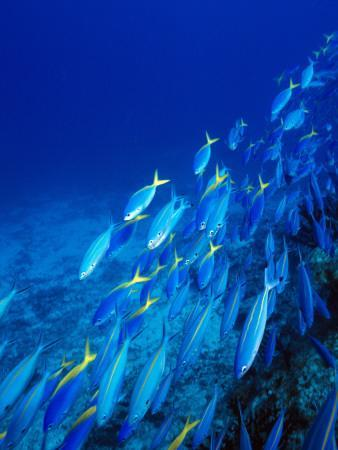 School of Tropical Fish Swimming Above Ocean Floor, Fiji--Photographic Print
