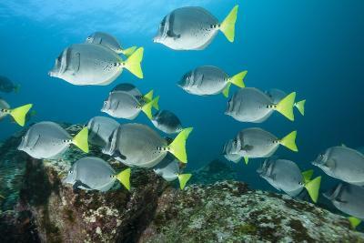 School of Yellow Tail Surgeonfish-Michele Westmorland-Photographic Print