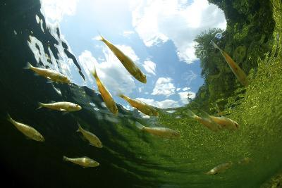 School Of Young European Perch (Perca Fluviatilis) In Altausseer Lake, Austria, July-Bert Willaert-Photographic Print