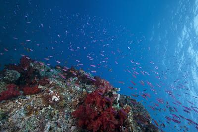 Schooling Anthias Fish and Healthy Corals of Beqa Lagoon, Fiji-Stocktrek Images-Photographic Print
