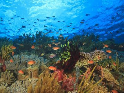 Schooling Anthias Fish, Wetar Island, Banda Sea, Indonesia-Stuart Westmorland-Photographic Print