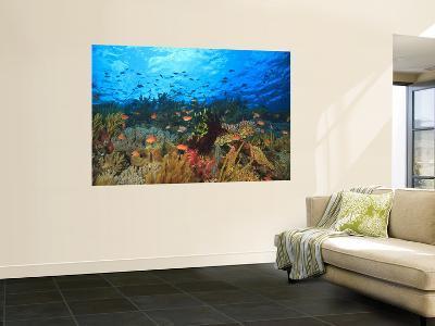 Schooling Anthias Fish, Wetar Island, Banda Sea, Indonesia-Stuart Westmorland-Giant Art Print