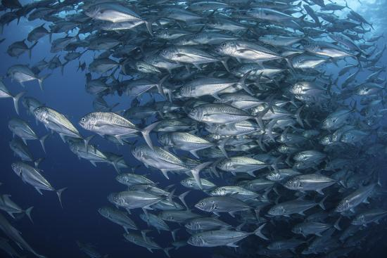 Schooling Bigeye Jacks Near Cocos Island, Costa Rica-Stocktrek Images-Photographic Print