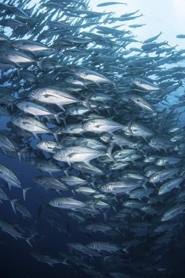 Schooling Bigeye Jacks Swim in the Depths of the Pacific Ocean-Stocktrek Images-Photographic Print
