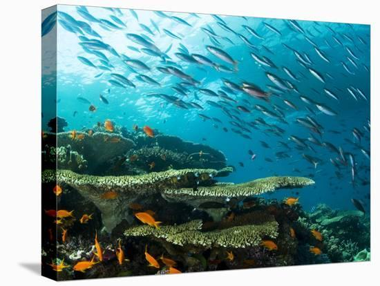 Schooling Fish over a Tropical Coral Reef-Mauricio Handler-Stretched Canvas Print